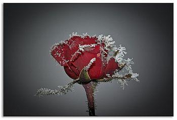 rosa gelata